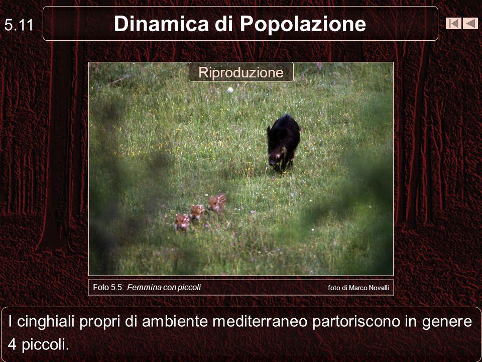 I cinghiali propri di ambiente mediterraneo partoriscono in genere 4 piccoli. 5.11 Dinamica di Popolazione Foto 5.5: Femmina con piccoli foto di Marco