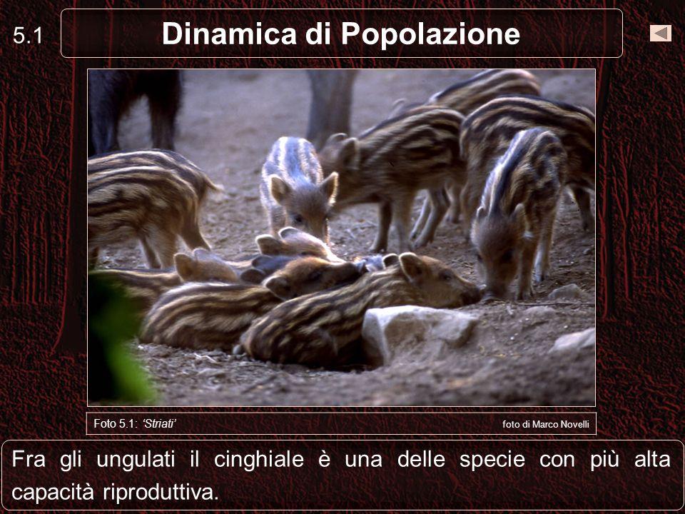 Fra gli ungulati il cinghiale è una delle specie con più alta capacità riproduttiva. 5.1 Dinamica di Popolazione Foto 5.1: Striati foto di Marco Novel