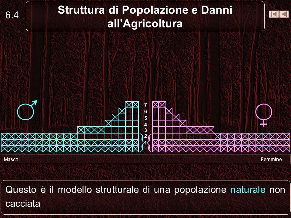 6.4 Struttura di Popolazione e Danni allAgricoltura Questo è il modello strutturale di una popolazione naturale non cacciata Maschi Femmine { } 1 2 3