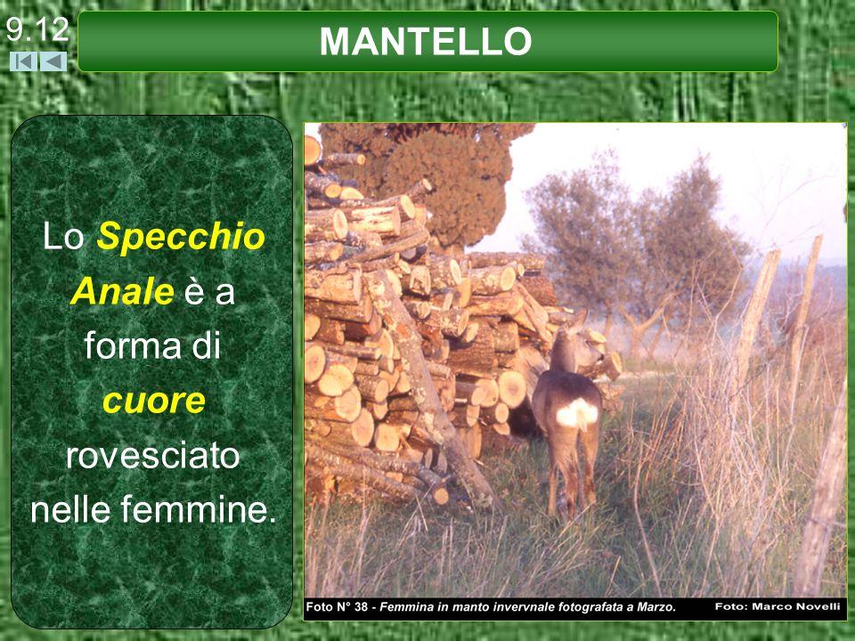 9.13 MANTELLO Lo Specchio Anale è a forma di rene (o fagiolo) nel maschio.