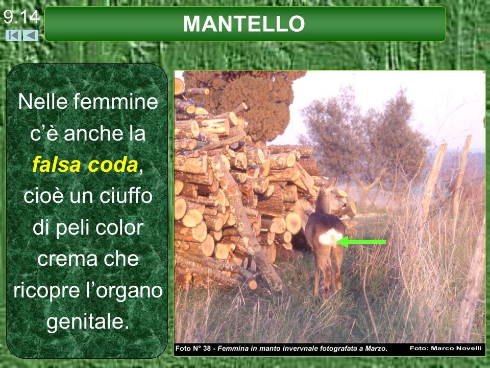 9.14 MANTELLO Nelle femmine cè anche la falsa coda, cioè un ciuffo di peli color crema che ricopre lorgano genitale.