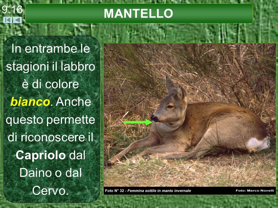 9.16 MANTELLO In entrambe le stagioni il labbro è di colore bianco. Anche questo permette di riconoscere il Capriolo dal Daino o dal Cervo.