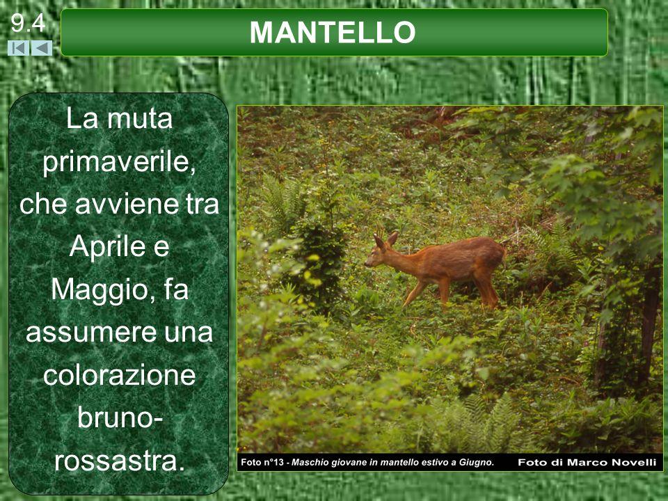 La muta primaverile, che avviene tra Aprile e Maggio, fa assumere una colorazione bruno- rossastra. 9.4 MANTELLO