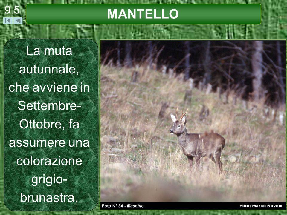 La muta autunnale, che avviene in Settembre- Ottobre, fa assumere una colorazione grigio- brunastra. 9.5 MANTELLO
