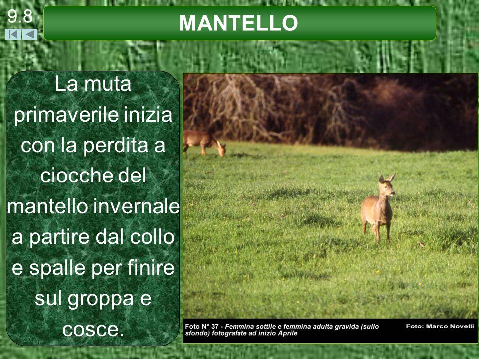 9.9 MANTELLO La muta autunnale è un fenomeno poco vistoso con acquisizione progressiva del mantello invernale.