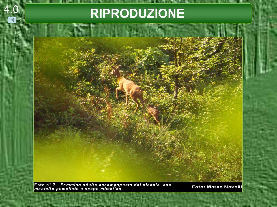 4.1 Le femmine di Capriolo raggiungono la maturità sessuale a 13-14 mesi e compiono il primo parto a 2 anni.