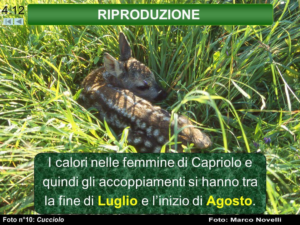 4.12 RIPRODUZIONE I calori nelle femmine di Capriolo e quindi gli accoppiamenti si hanno tra la fine di Luglio e linizio di Agosto.