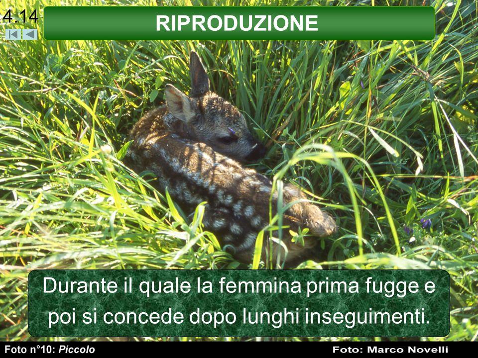 4.14 RIPRODUZIONE Durante il quale la femmina prima fugge e poi si concede dopo lunghi inseguimenti.