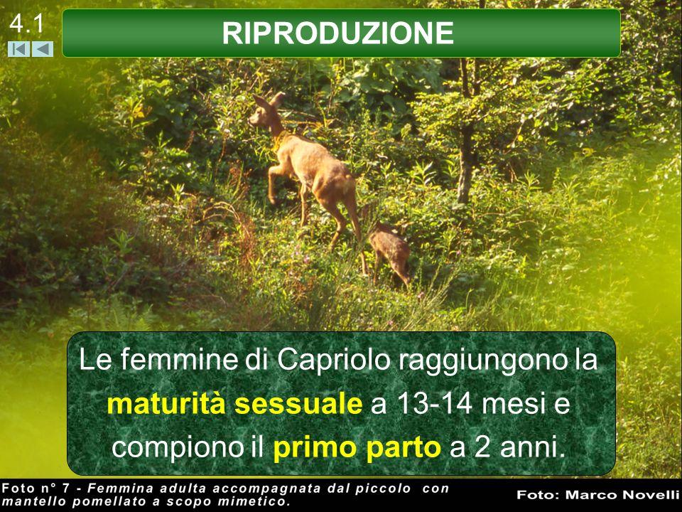 4.1 Le femmine di Capriolo raggiungono la maturità sessuale a 13-14 mesi e compiono il primo parto a 2 anni. RIPRODUZIONE