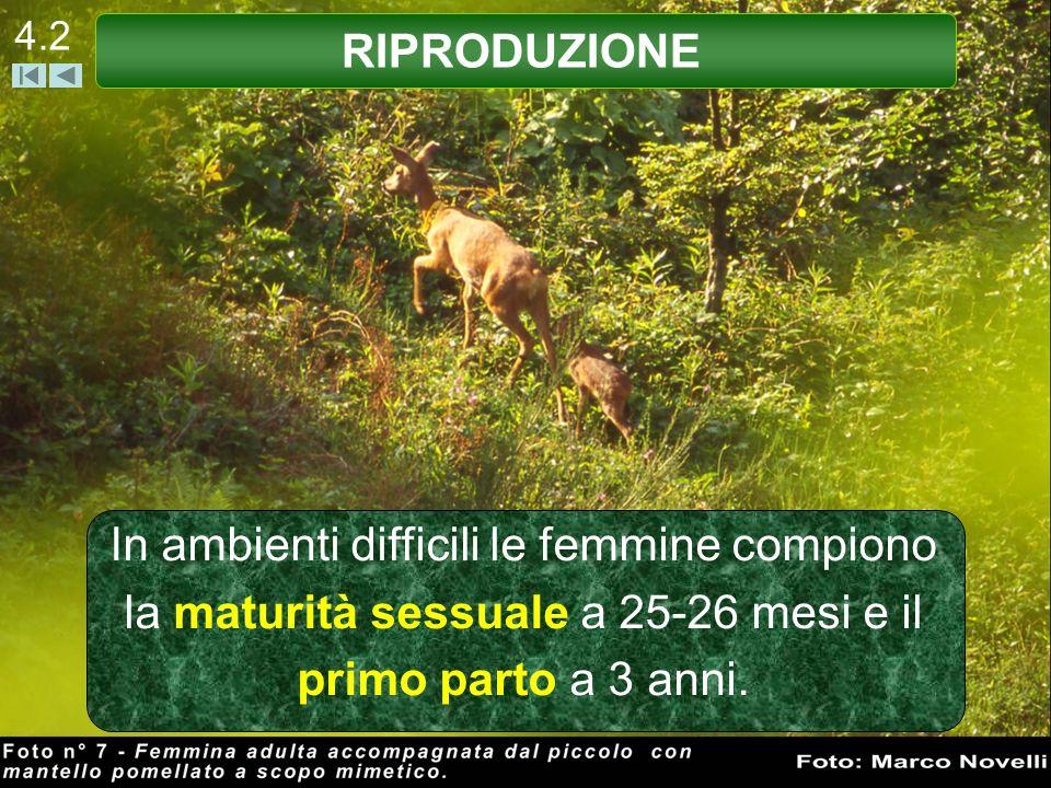 4.2 In ambienti difficili le femmine compiono la maturità sessuale a 25-26 mesi e il primo parto a 3 anni. RIPRODUZIONE