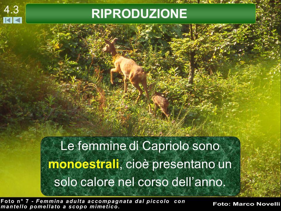 4.3 Le femmine di Capriolo sono monoestrali, cioè presentano un solo calore nel corso dellanno. RIPRODUZIONE