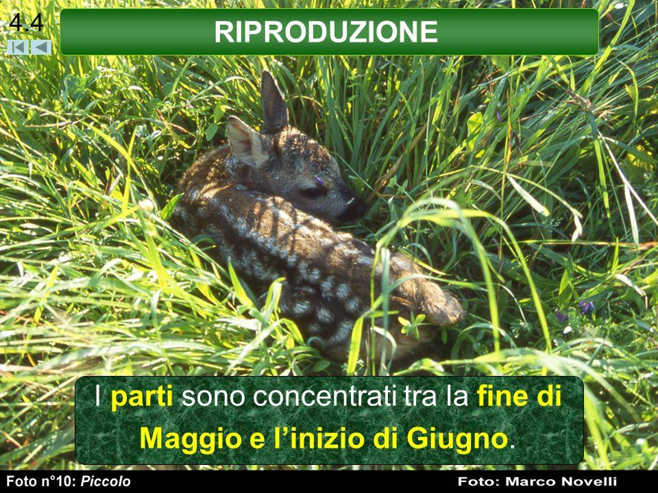 4.5 Tuttavia si possono trovare piccoli di Capriolo a fine Aprile o ai primi di Luglio, questo in funzione delle condizioni climatiche in cui vive una popolazione.