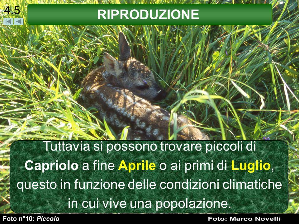 4.5 Tuttavia si possono trovare piccoli di Capriolo a fine Aprile o ai primi di Luglio, questo in funzione delle condizioni climatiche in cui vive una