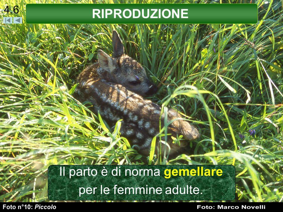 4.7 Le primipare partoriscono generalmente un solo piccolo, due piccoli in condizioni ambientali favorevoli.