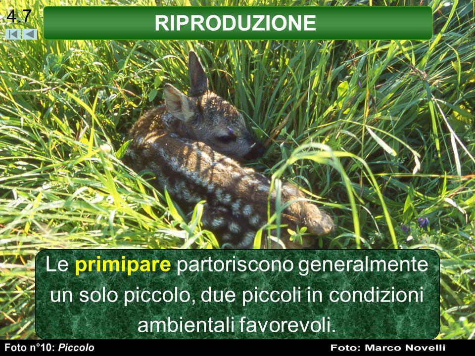 4.7 Le primipare partoriscono generalmente un solo piccolo, due piccoli in condizioni ambientali favorevoli. RIPRODUZIONE