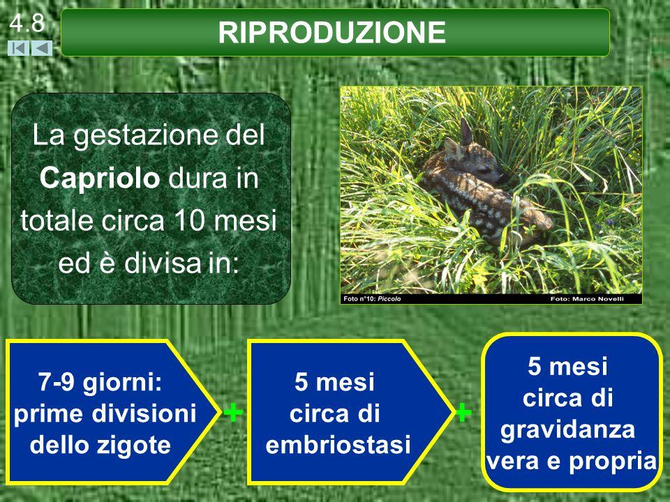 4.8 La gestazione del Capriolo dura in totale circa 10 mesi ed è divisa in: RIPRODUZIONE ++ 7-9 giorni: prime divisioni dello zigote 5 mesi circa di e