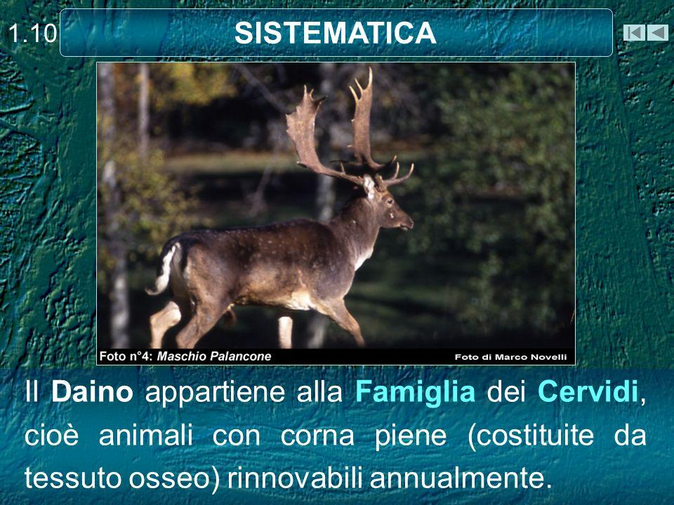 Il Daino appartiene alla Famiglia dei Cervidi, cioè animali con corna piene (costituite da tessuto osseo) rinnovabili annualmente. 1.10 SISTEMATICA