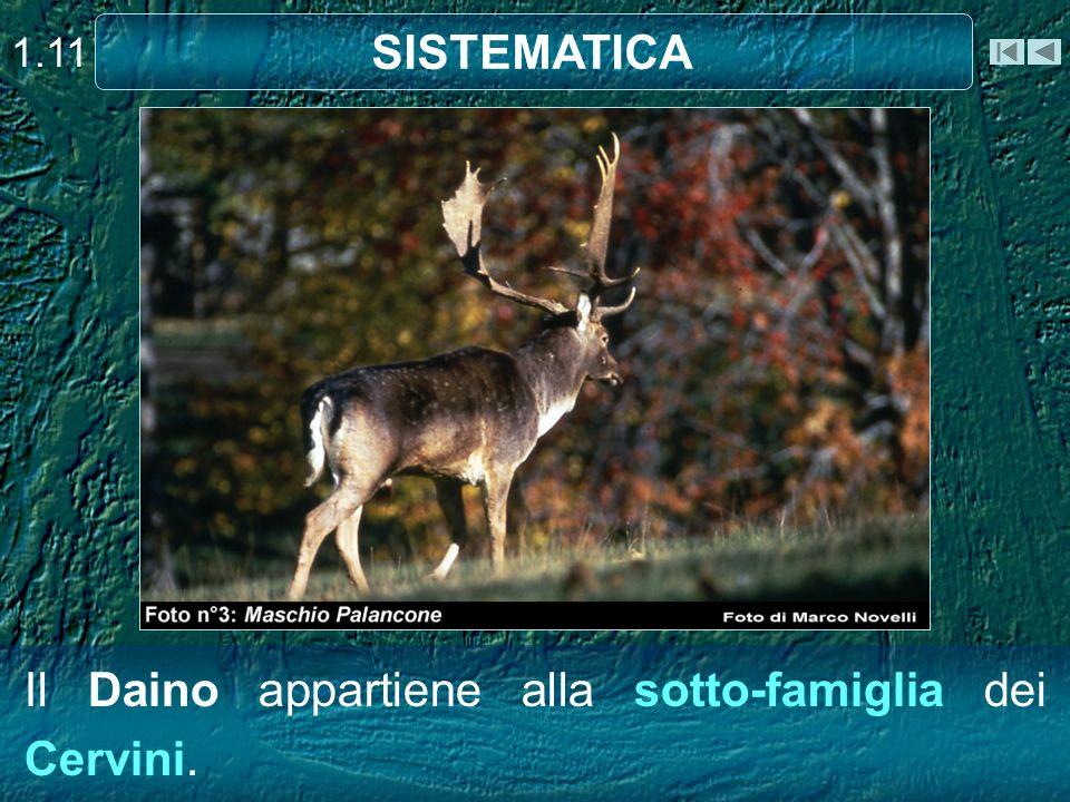 Il Daino appartiene alla sotto-famiglia dei Cervini. SISTEMATICA 1.11
