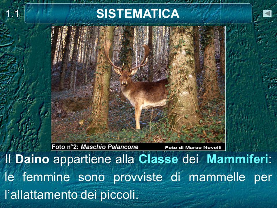 Il Daino appartiene alla Classe dei Mammiferi: le femmine sono provviste di mammelle per lallattamento dei piccoli. 1.1 SISTEMATICA