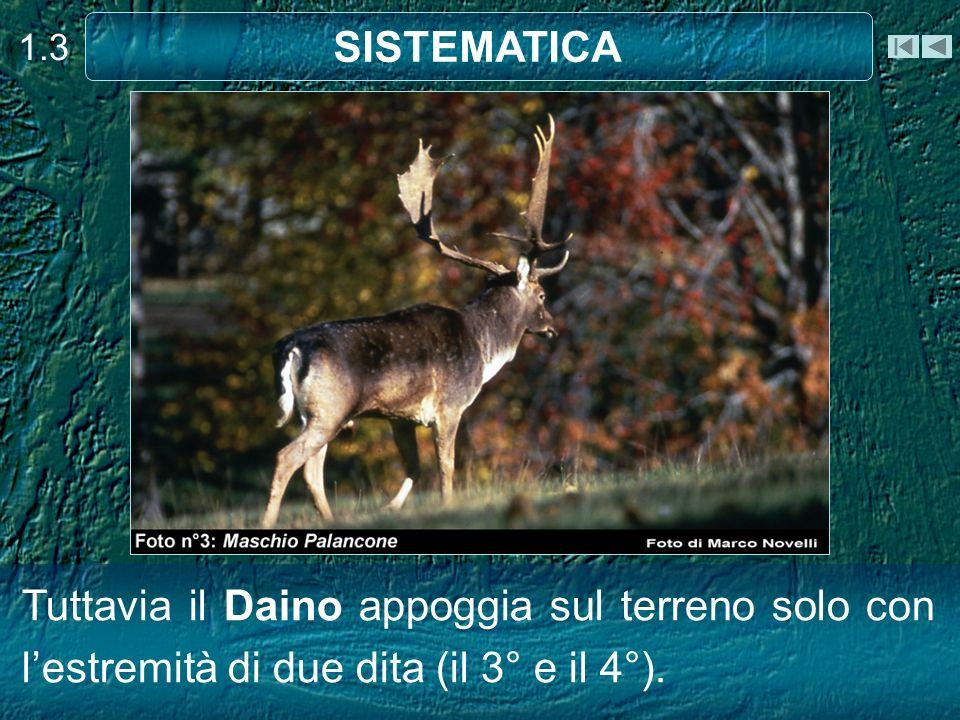 Tuttavia il Daino appoggia sul terreno solo con lestremità di due dita (il 3° e il 4°). 1.3 SISTEMATICA