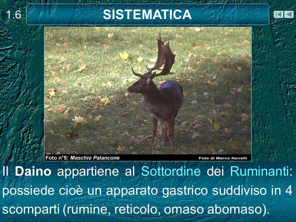 Il Daino appartiene al Sottordine dei Ruminanti: possiede cioè un apparato gastrico suddiviso in 4 scomparti (rumine, reticolo, omaso abomaso). 1.6 SI