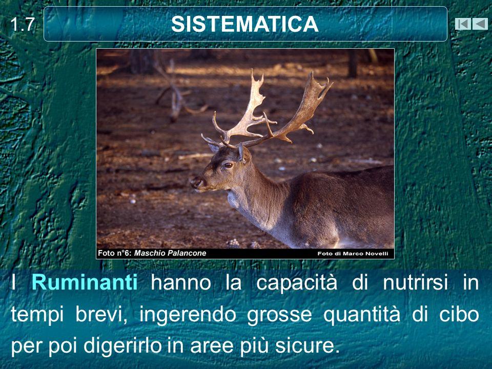 I Ruminanti hanno la capacità di nutrirsi in tempi brevi, ingerendo grosse quantità di cibo per poi digerirlo in aree più sicure. 1.7 SISTEMATICA