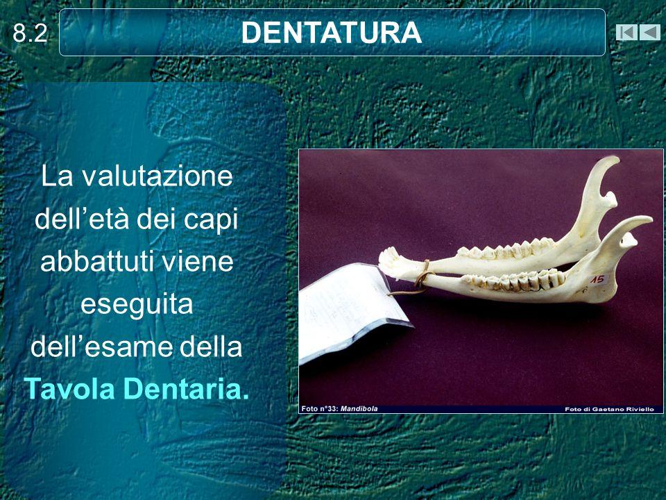 8.2 La valutazione delletà dei capi abbattuti viene eseguita dellesame della Tavola Dentaria. DENTATURA