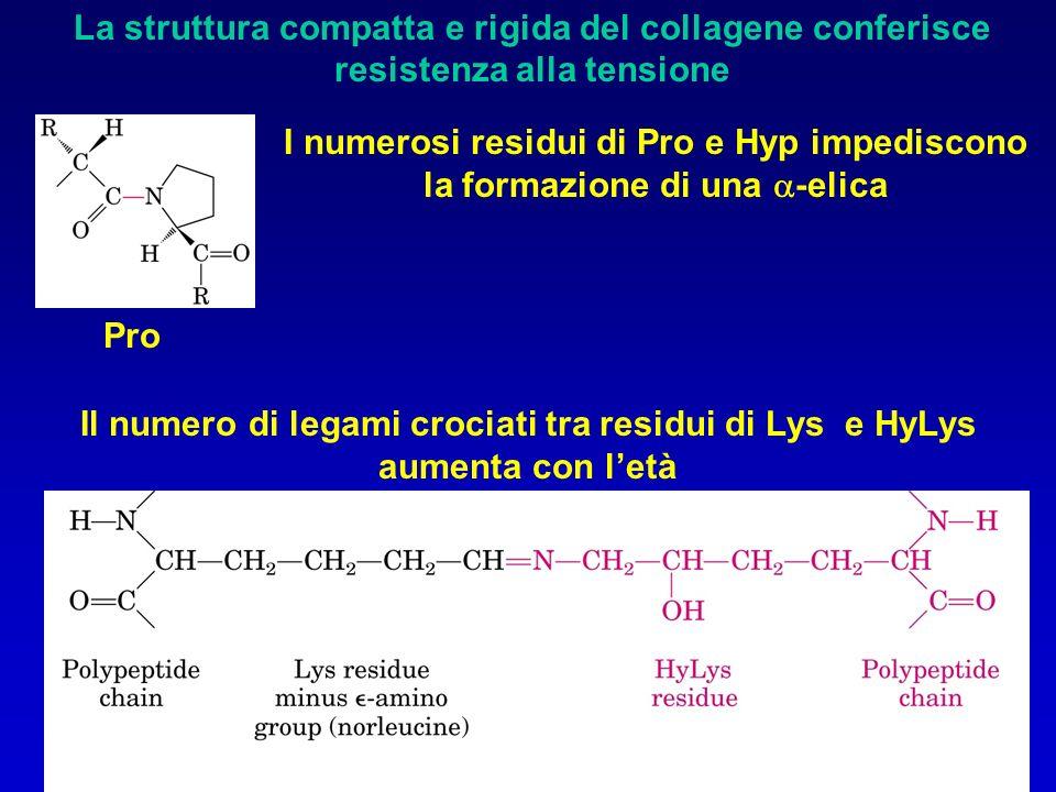 La struttura compatta e rigida del collagene conferisce resistenza alla tensione I numerosi residui di Pro e Hyp impediscono la formazione di una  -elica Pro Il numero di legami crociati tra residui di Lys e HyLys aumenta con l'età