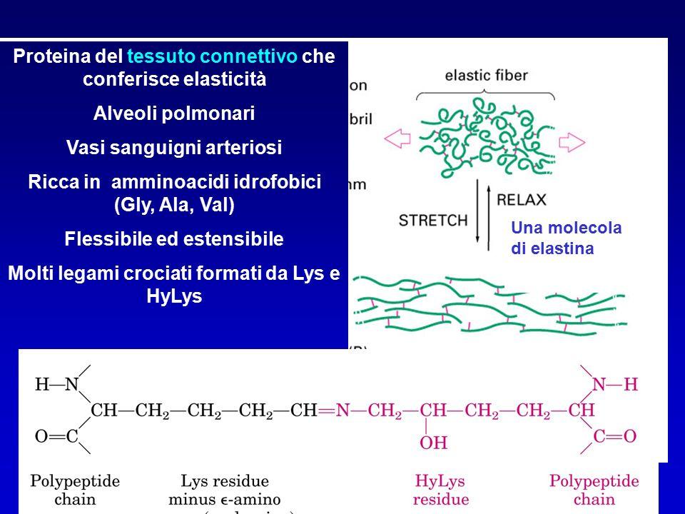 Fibrilla di collagene Fibra elastica Una molecola di elastina COLLAGENE ELASTINA Proteina del tessuto connettivo che conferisce elasticità Alveoli polmonari Vasi sanguigni arteriosi Ricca in amminoacidi idrofobici (Gly, Ala, Val) Flessibile ed estensibile Molti legami crociati formati da Lys e HyLys