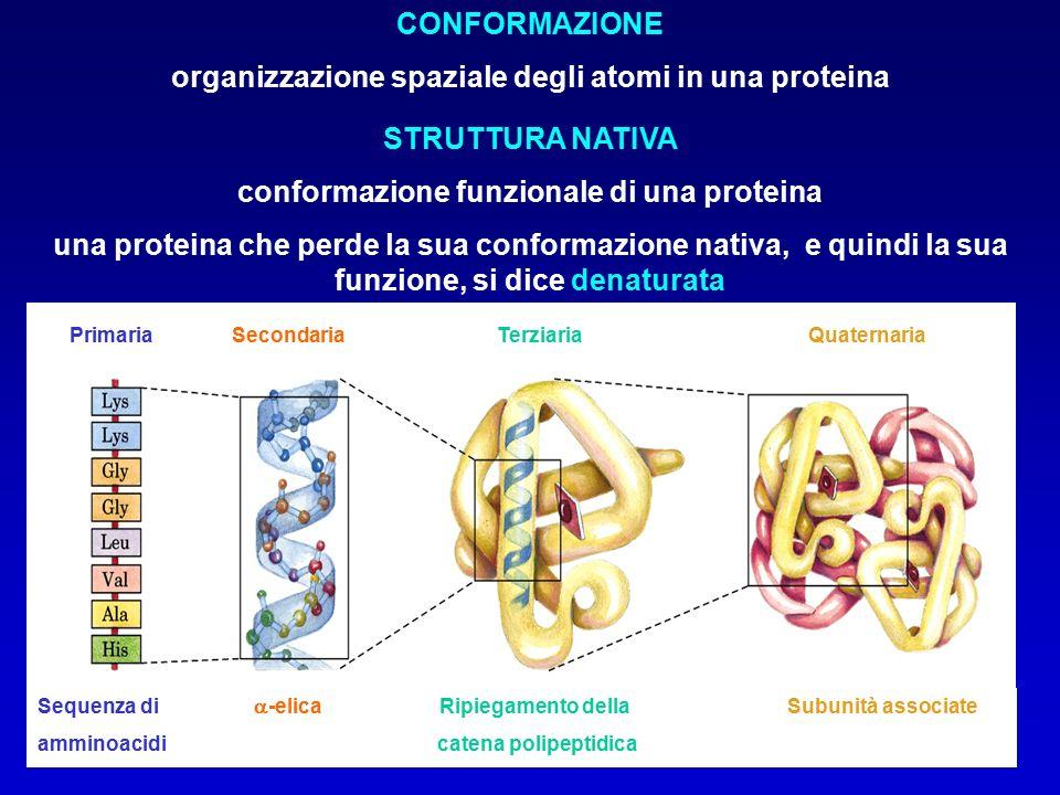 Sequenza di  -elica Ripiegamento della Subunità associate amminoacidi catena polipeptidica Primaria Secondaria Terziaria Quaternaria CONFORMAZIONE organizzazione spaziale degli atomi in una proteina STRUTTURA NATIVA conformazione funzionale di una proteina una proteina che perde la sua conformazione nativa, e quindi la sua funzione, si dice denaturata