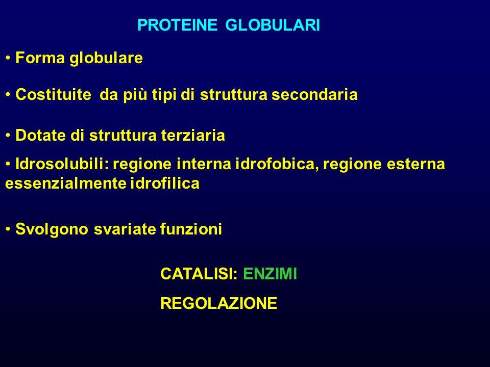 PROTEINE GLOBULARI Forma globulare Costituite da più tipi di struttura secondaria Idrosolubili: regione interna idrofobica, regione esterna essenzialmente idrofilica Svolgono svariate funzioni CATALISI: ENZIMI REGOLAZIONE Dotate di struttura terziaria
