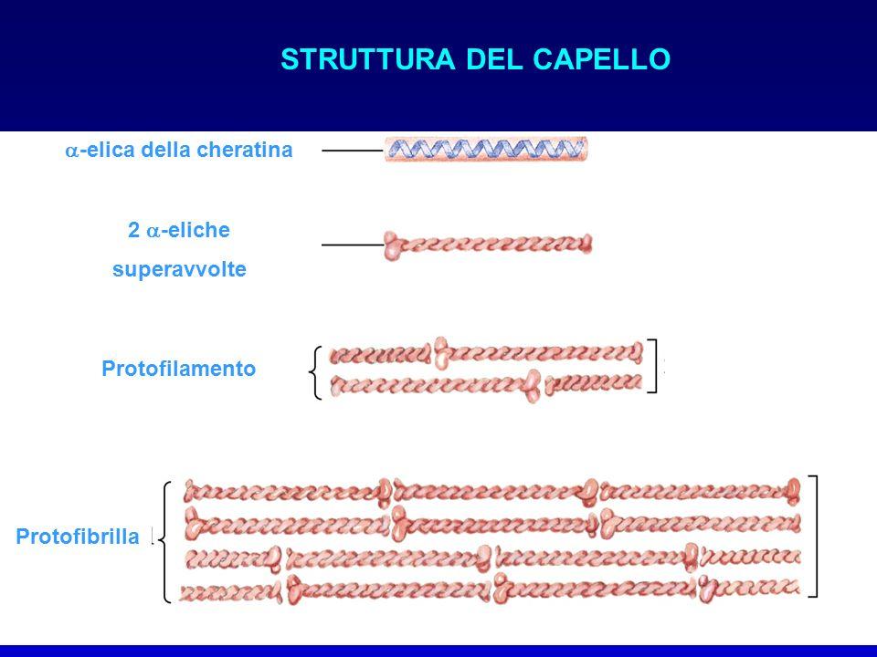 STRUTTURA DEL CAPELLO  -elica della cheratina 2  -eliche superavvolte Protofilamento Protofibrilla