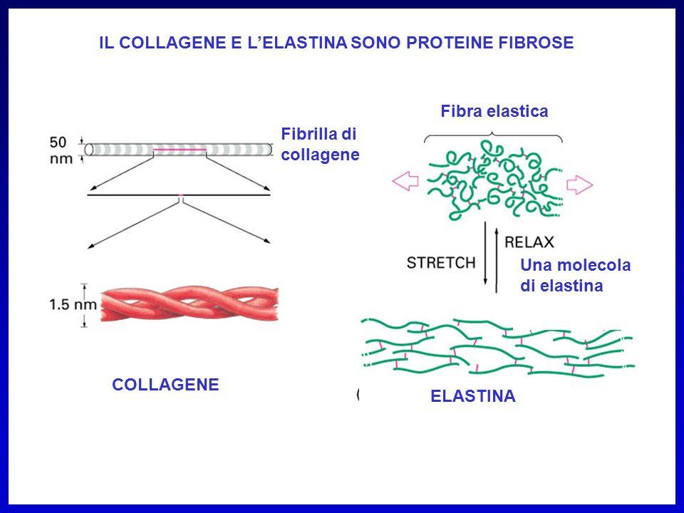 Fibrilla di collagene Fibra elastica Una molecola di elastina COLLAGENE ELASTINA IL COLLAGENE E L'ELASTINA SONO PROTEINE FIBROSE