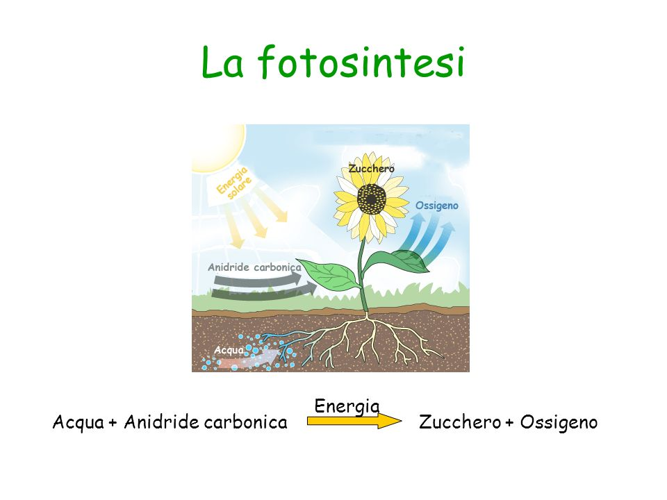 La fotosintesi Acqua + Anidride carbonicaZucchero + Ossigeno Energia
