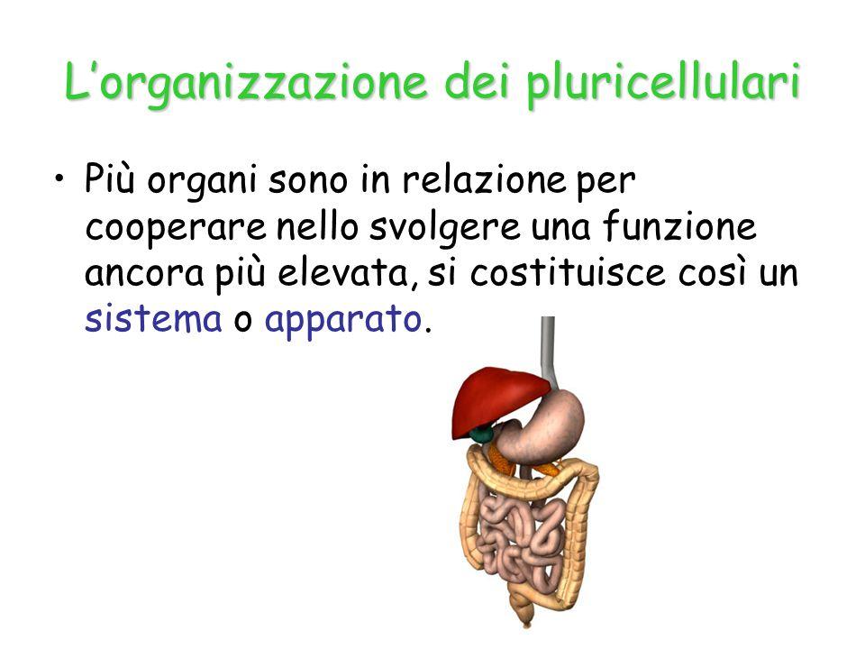 L'organizzazione dei pluricellulari Più organi sono in relazione per cooperare nello svolgere una funzione ancora più elevata, si costituisce così un