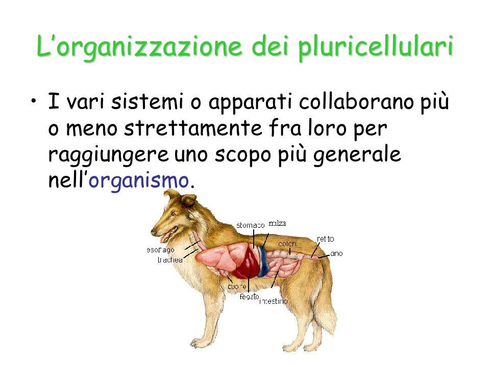 L'organizzazione dei pluricellulari I vari sistemi o apparati collaborano più o meno strettamente fra loro per raggiungere uno scopo più generale nell