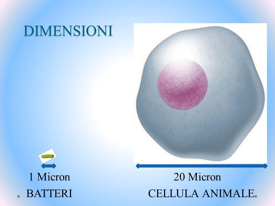 DIMENSIONI 1 Micron 20 Micron BATTERI CELLULA ANIMALE