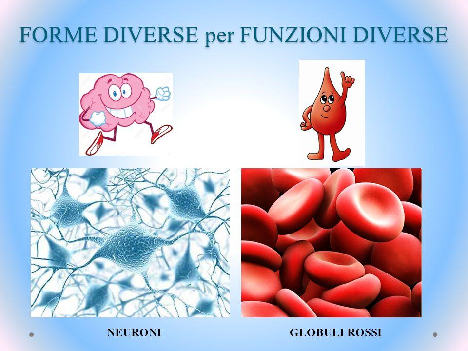 FORME DIVERSE per FUNZIONI DIVERSE NEURONI GLOBULI ROSSI