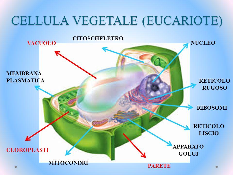 CELLULA VEGETALE (EUCARIOTE) NUCLEO RIBOSOMI APPARATO GOLGI PARETE VACUOLO MEMBRANA PLASMATICA MITOCONDRI CLOROPLASTI RETICOLO LISCIO RETICOLO RUGOSO