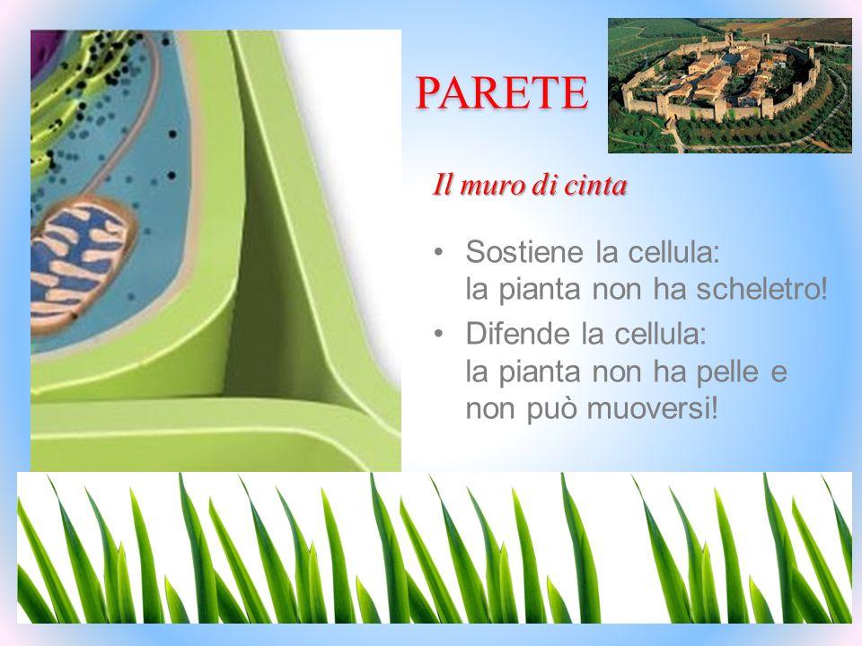 PARETE Il muro di cinta Sostiene la cellula: la pianta non ha scheletro! Difende la cellula: la pianta non ha pelle e non può muoversi!