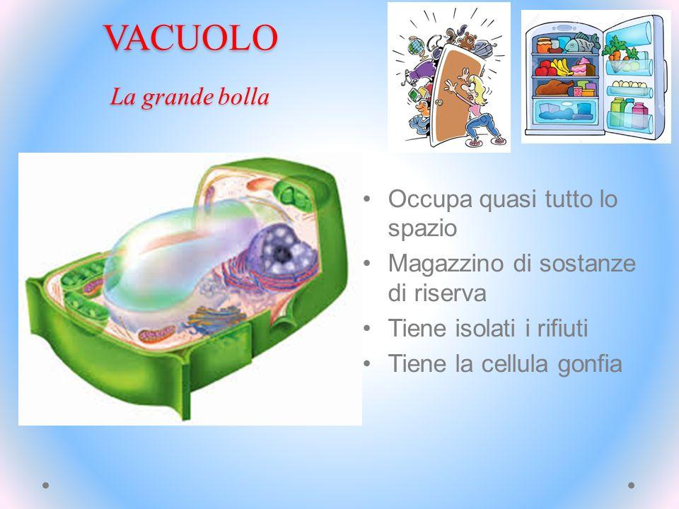 VACUOLO La grande bolla Occupa quasi tutto lo spazio Magazzino di sostanze di riserva Tiene isolati i rifiuti Tiene la cellula gonfia