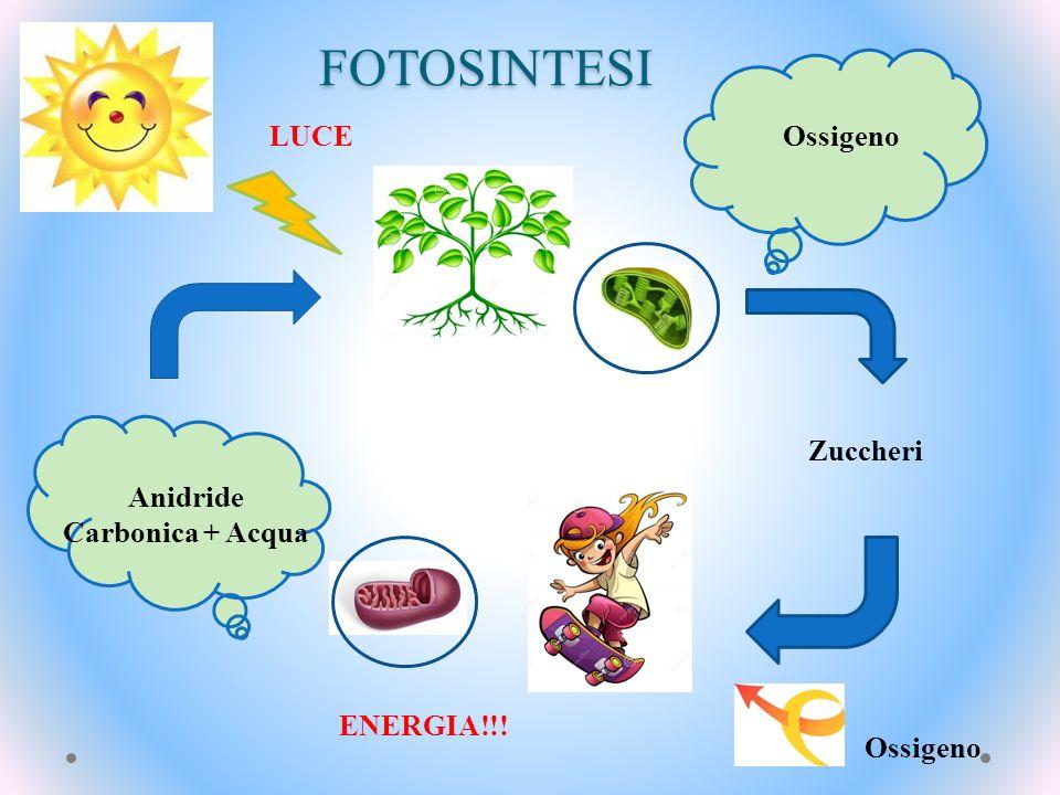 FOTOSINTESI Anidride Carbonica + Acqua Zuccheri Ossigeno ENERGIA!!! LUCE
