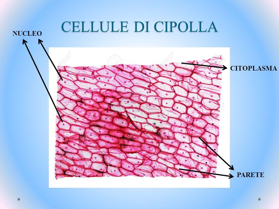 CELLULE DI CIPOLLA NUCLEO PARETE CITOPLASMA