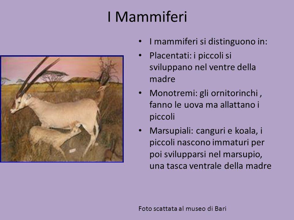 I Mammiferi I mammiferi si distinguono in: Placentati: i piccoli si sviluppano nel ventre della madre Monotremi: gli ornitorinchi, fanno le uova ma al