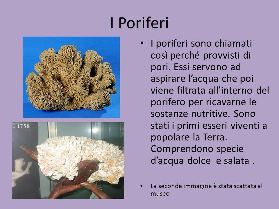 I Poriferi I poriferi sono chiamati così perché provvisti di pori. Essi servono ad aspirare l'acqua che poi viene filtrata all'interno del porifero pe