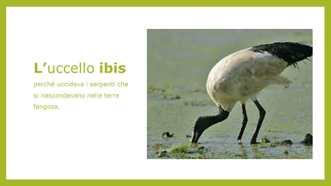 L'uccello ibis perché uccideva i serpenti che si nascondevano nella terra fangosa.