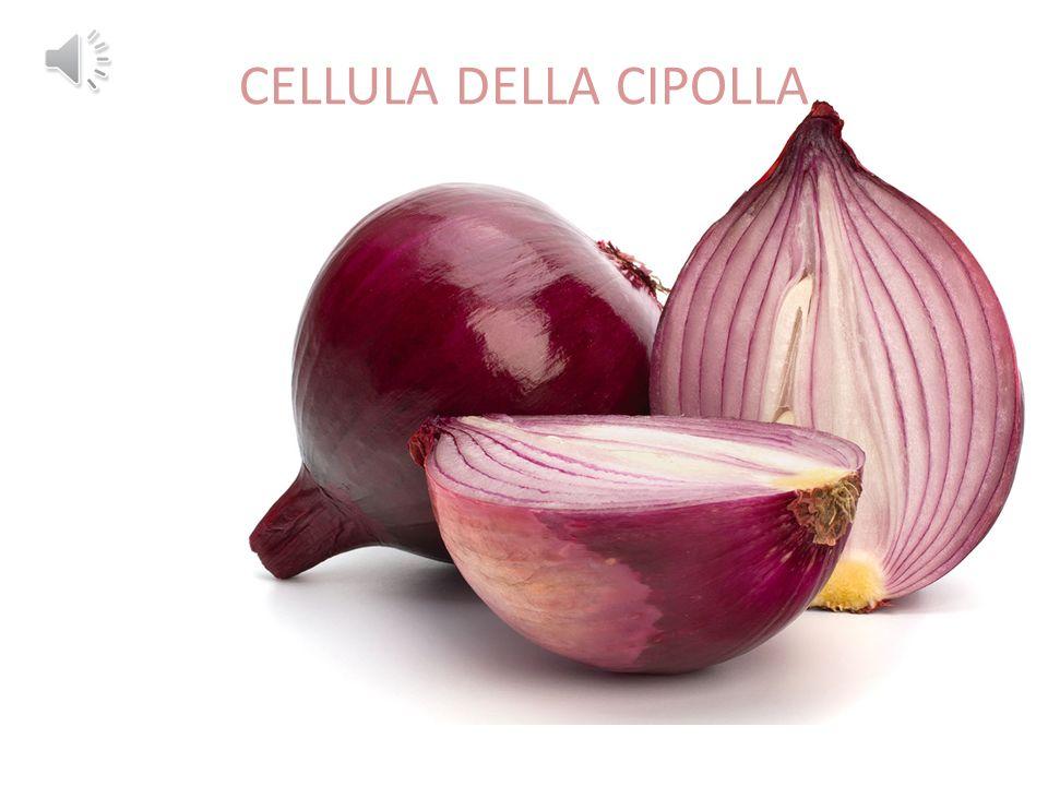 CELLULA DELLA CIPOLLA