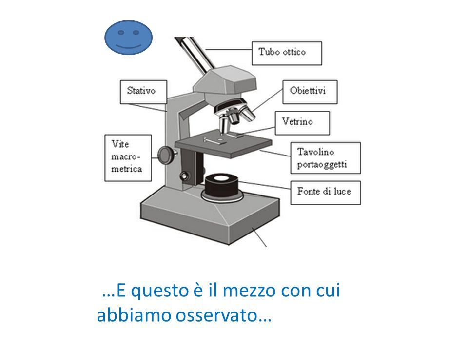 CONCLUSIONI E' stata un'esperienza molto interessante perché abbiamo scoperto come si usa il microscopio, come si colora la cellula vegetale e come ci