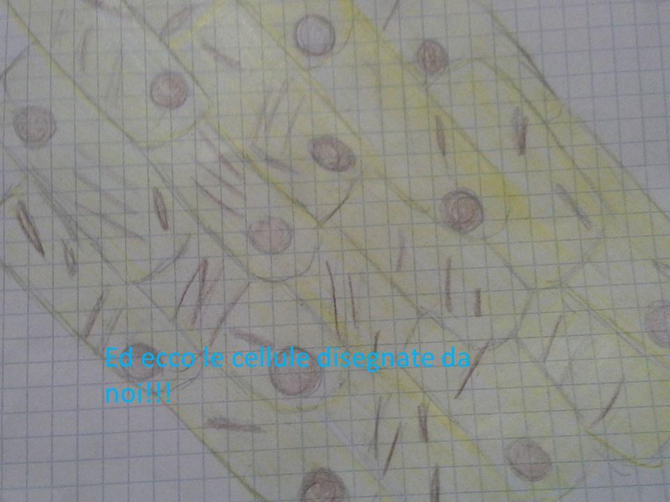Ed ecco le cellule disegnate da noi!!!