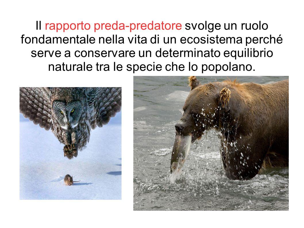 Il rapporto preda-predatore svolge un ruolo fondamentale nella vita di un ecosistema perché serve a conservare un determinato equilibrio naturale tra le specie che lo popolano.